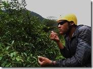 Sampling Guava