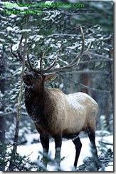 Mount St Helen Elk