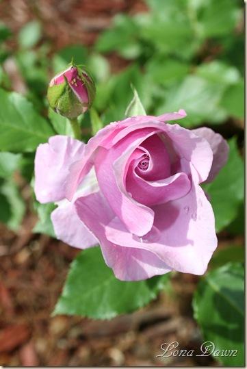 Rose_LavenderSimplicity