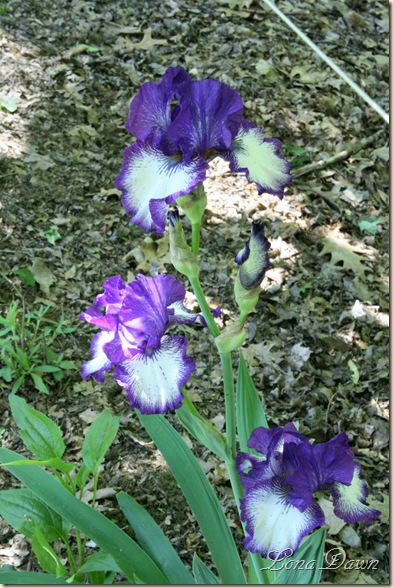 Oreo_Iris_Blooms