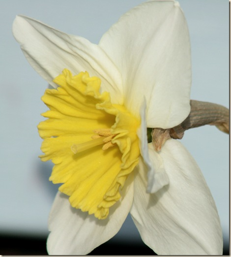 Daffodil_Spring3