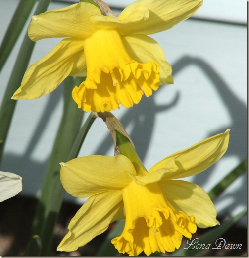 Daffodils2_March31
