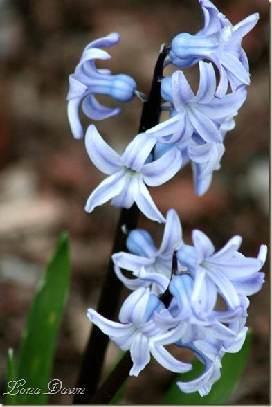Hyacinth_Blue2