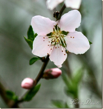 Peach_Blossoms3