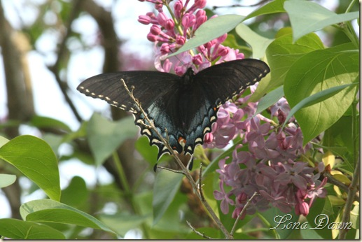Lilac_BlackSwallowtail