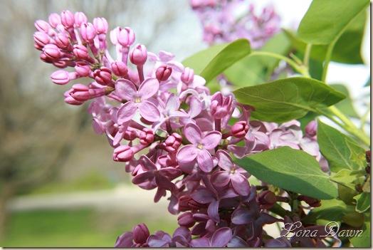 Lilacs_April11