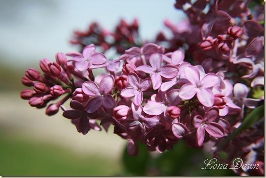 Lilac_April11