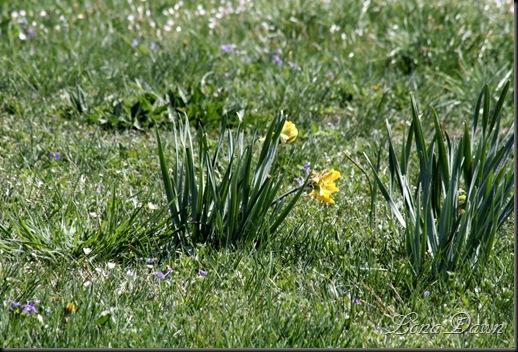 CH_MeadowDaffodil_Spring