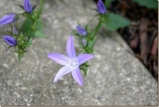 Campanula_BlurWaterfalls_Blooms2
