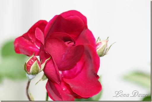 LastingLove_Rose2