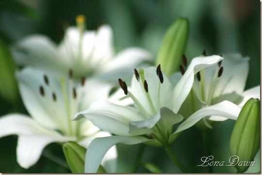 White_Lilies2