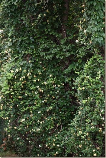 a hocking hill's garden invasive japanese honeysuckle, Natural flower