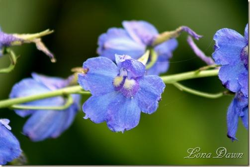 Delpinium3_Bluebird