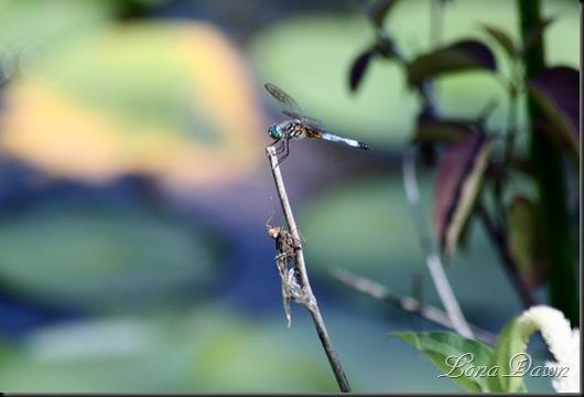 WNP_Dragonflies
