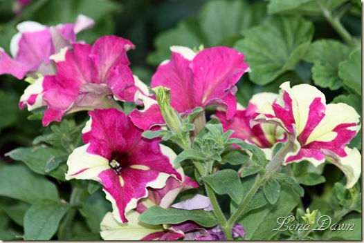 Petunia_FancyDress_July5