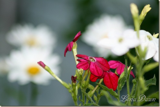 Nicotiana_Red