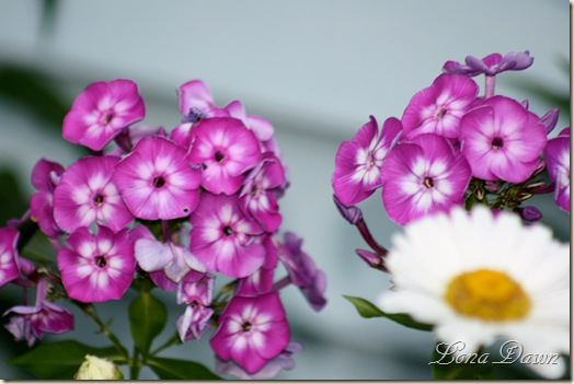 Phlox_Laura_July5