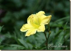 LF_Lily_Yellow