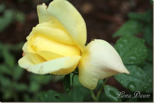 BellaRoma2_Rose