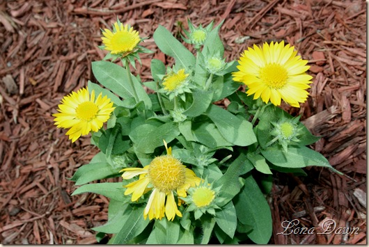 Gaillardia_MesaYellow_July23