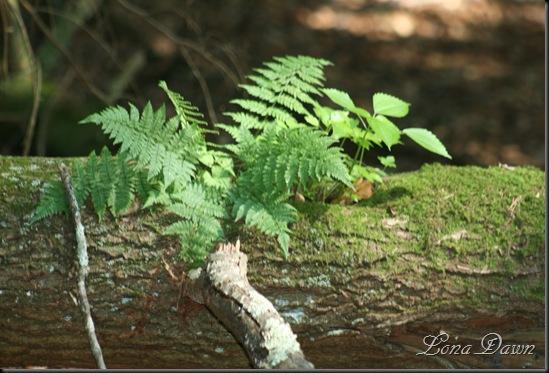 Tree_Fern