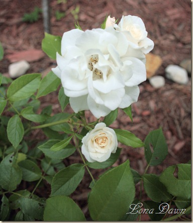 Rose_Iceberg_July28