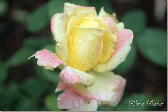 BellaRoma_Rose