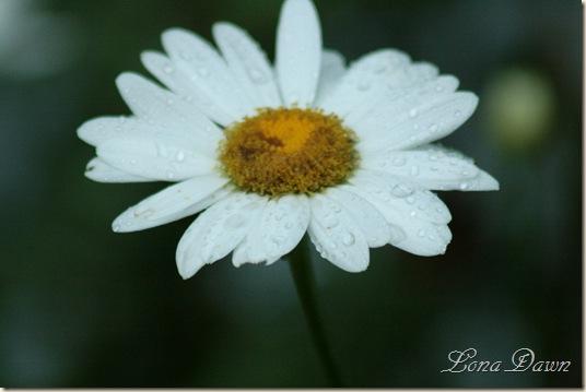 Daisy_Wet