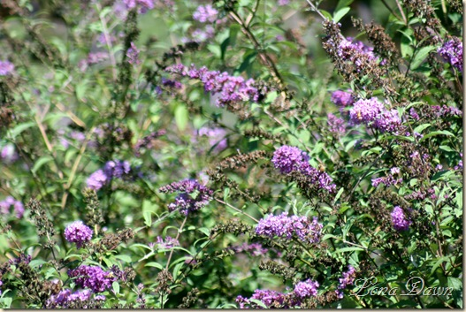 FPC_Buddleia_Aug18
