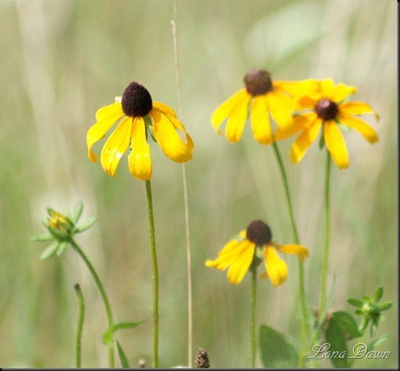 RL_Brownhead_Coneflower