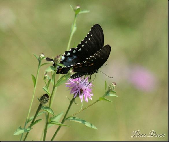 RL_Black_Swallowtail