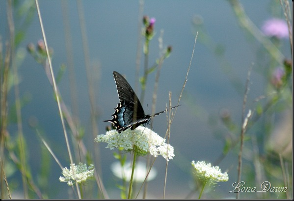 RL_Black_Swallowtail3