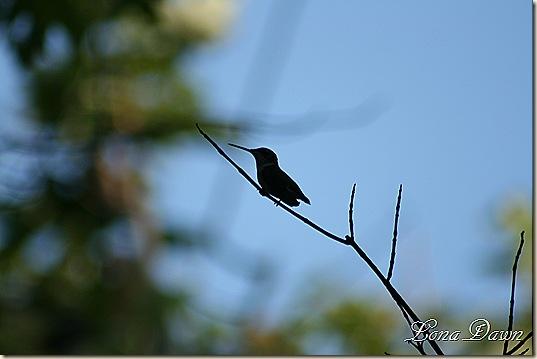 Hummingbird_Silhouette