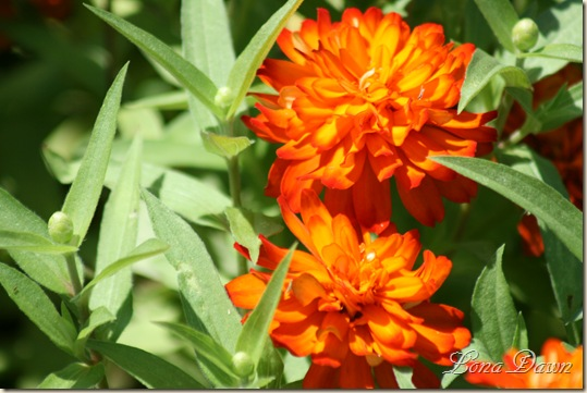 FPC_OrangeZinnia_Aug18