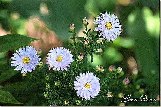 Asters_Blue