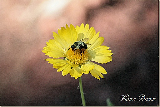 Copy (1) of Gaillardia_Bumblebee