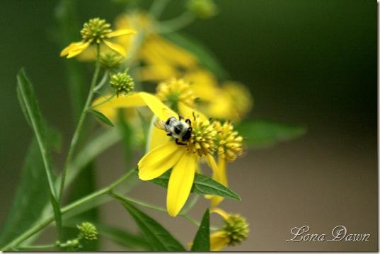 CC_GEyed_Coneflower_Bee