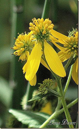 CC_GreenHeadedConeflower
