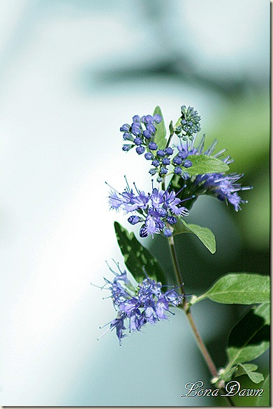 Caryopteris_FirstChoice3