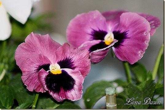Pansies_purples