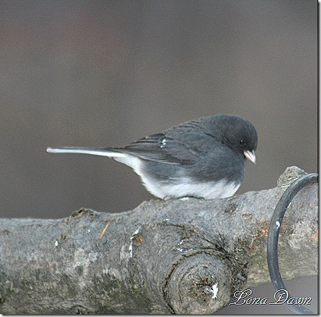 Junco_Closeup3