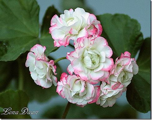 Rosebug_Appleblossom2_Geranium