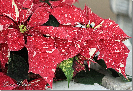 Poinsettia2_P_Dec2
