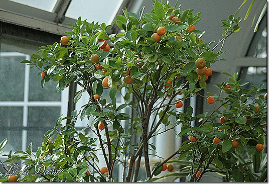Orange_Tree_Dec2