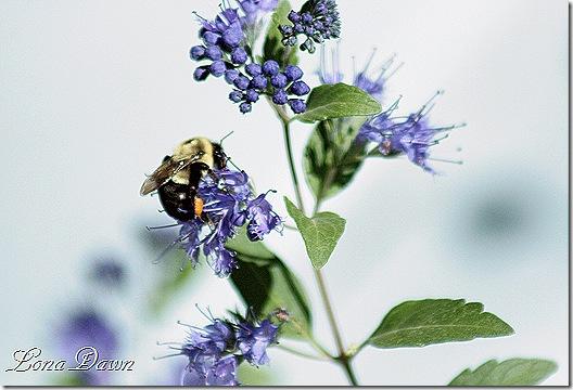 Caryopteris_Bumblebee2