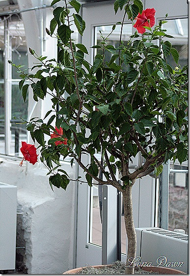 Hibiscus_Orange_Dec2