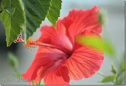 Hibiscus_Bloom_Dec2