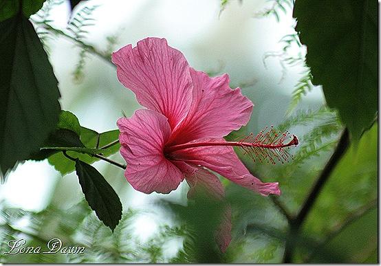 Hibiscus2_Pink_Dec2