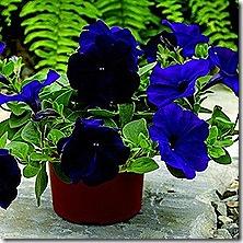 petunia_ramblin_nu_blue_2