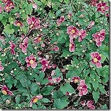anemone_rose_beauty_2